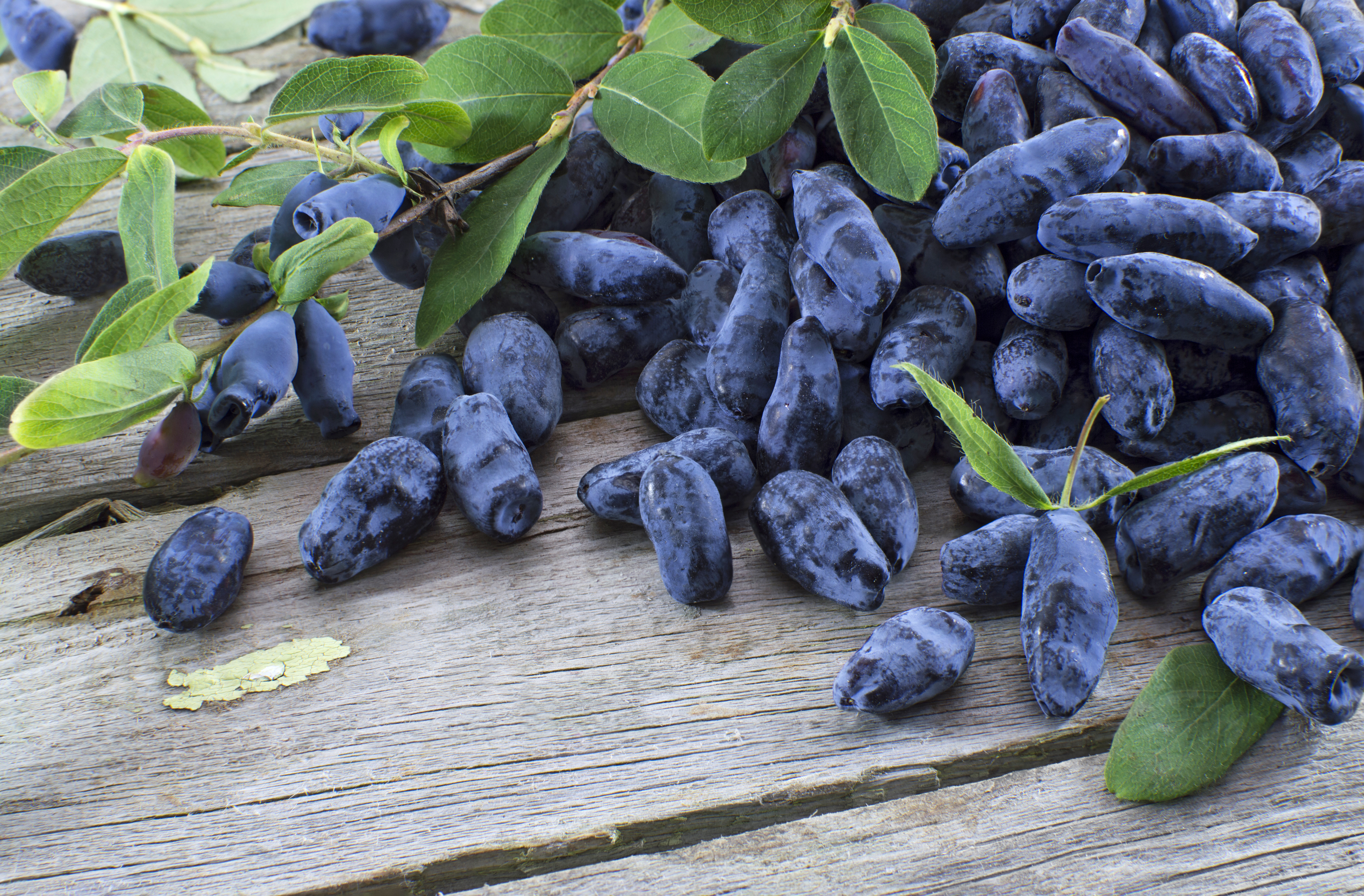What is a Haskap Berry?